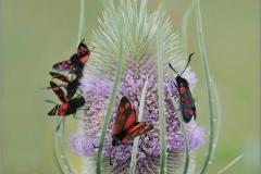 Burnett Moths on teasel - J.F. Kelsey - 20