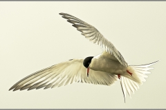 Common Tern_19