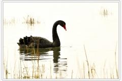 Black Swan_18
