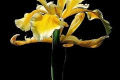 Last Iris of the Spring