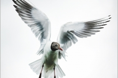 Black Headed Gull - John Fryer Kelsey - 20