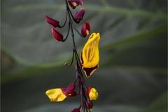 Thunberia Mysorensis