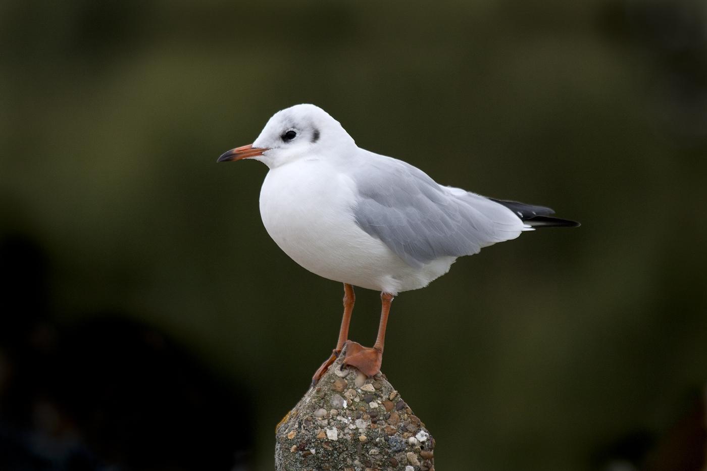 Black headed gull winter