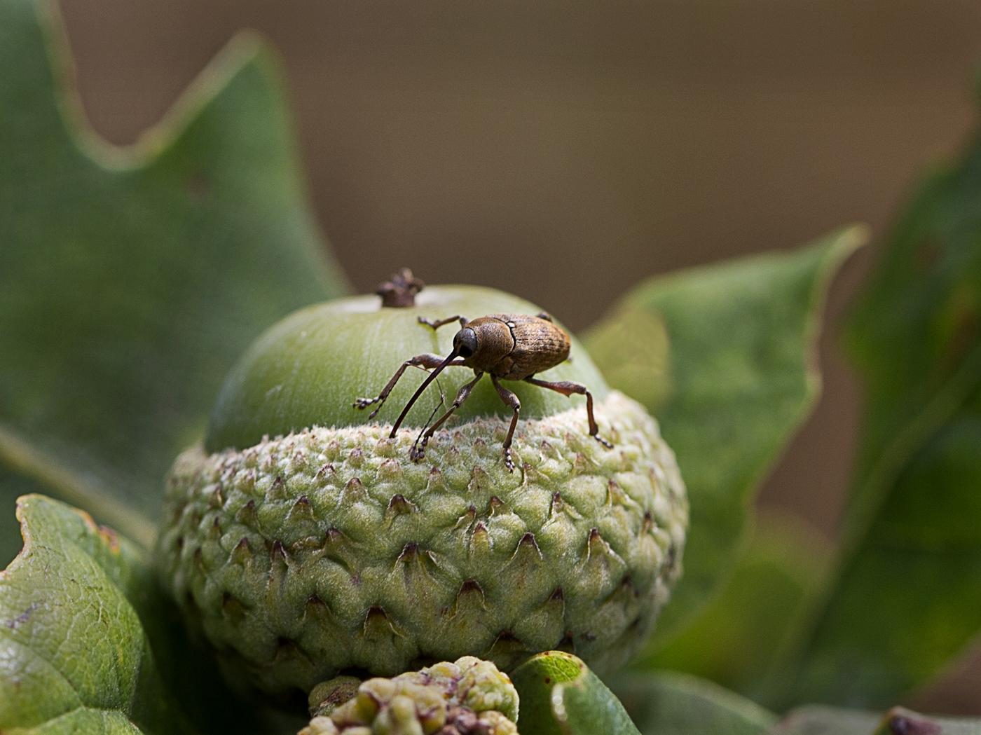 Weevil feeding on acorn