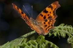 Comma-Butterfly