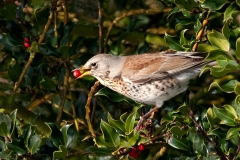 Fieldfare eating holly berries