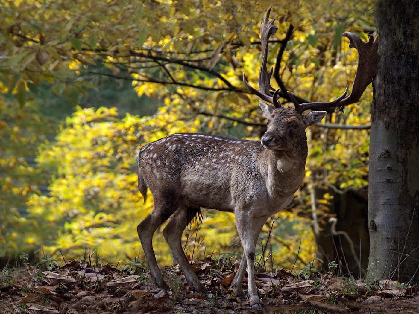 01-Deer stag
