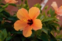 02-hibiscus